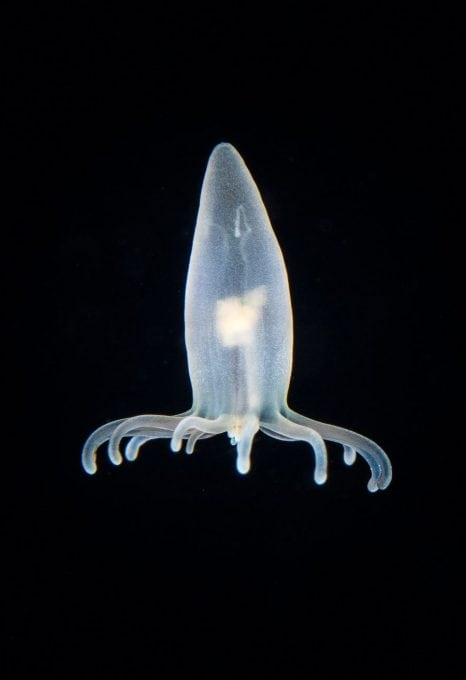 Planktonic coral polyp, blackwater