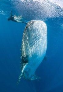 Whale-shark-Mafia-Island-Simon-Pierce-photography