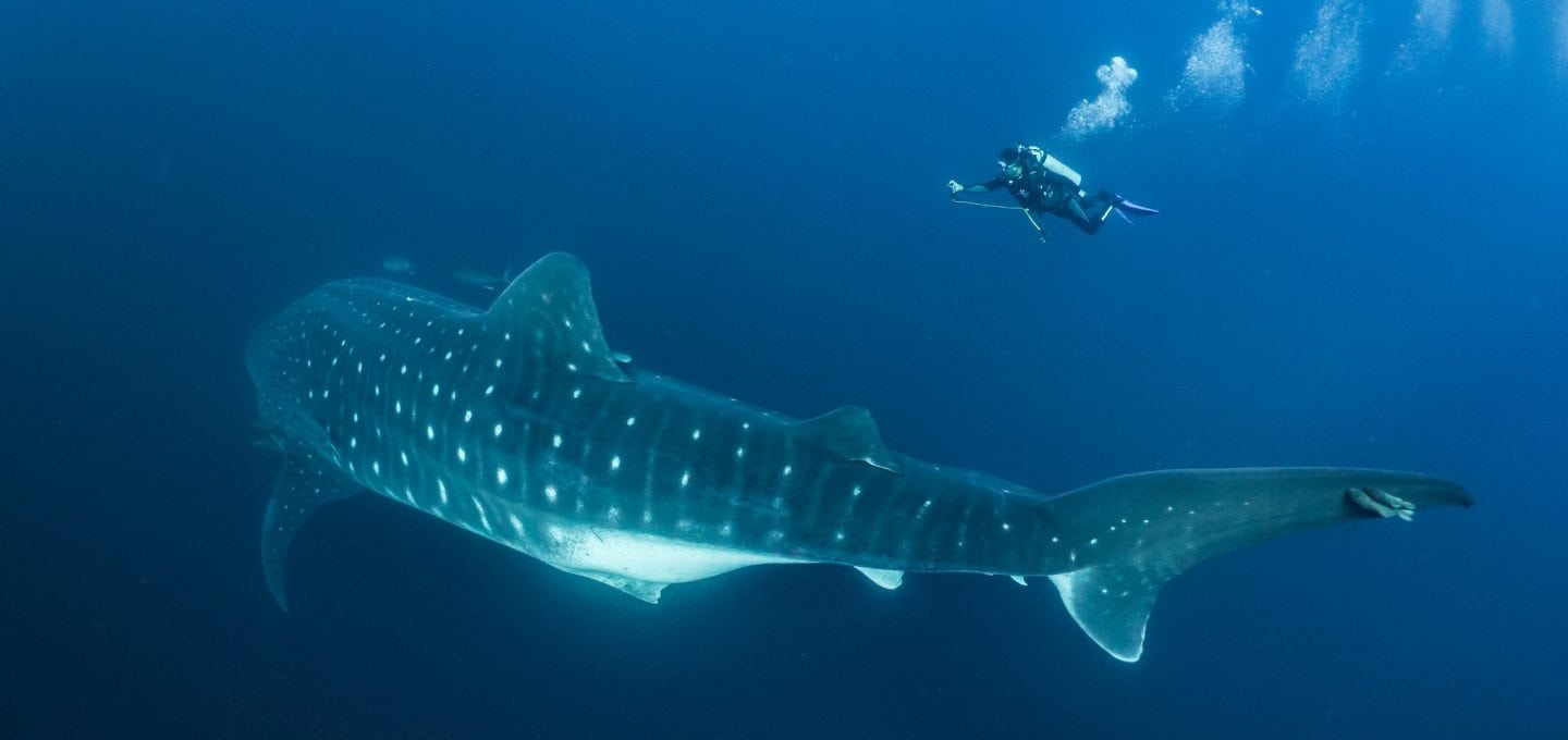 Whale shark, photographer, underwater, Mozambique