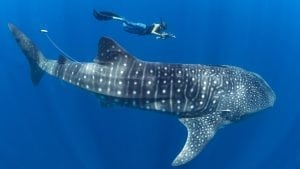 Whale-shark-measure-Mozambique-Andrew-Marshall