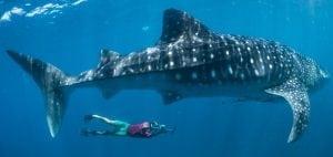 Underwater-photograph-whale-shark-research-Simon-Pierce