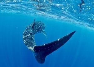 Stella-Diamant-The-Madagascar-Whale-Shark-Project