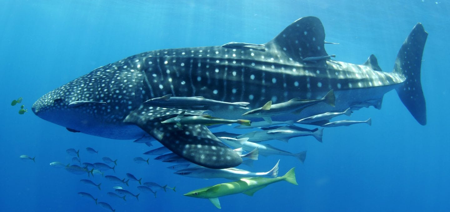 Stella-Diamant-The-Madagascar-Whale-Shark-Project-underwater-photography