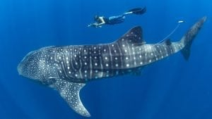 whale-shark-simon-pierce