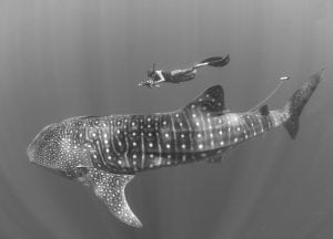 underwater-nature-photography-The-Madagascar-Whale-Shark-Project