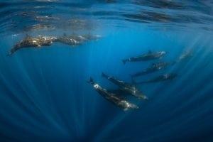 Joanna-Lentini-false-orcas-ocean-photography