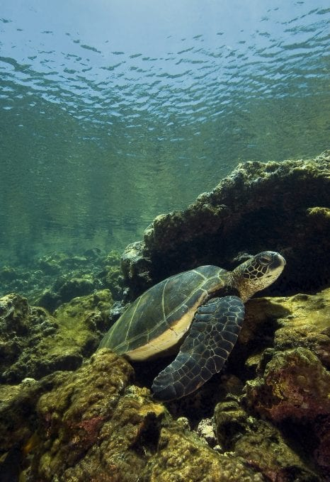Turtle, Galapagos, underwater