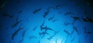 Galapagos, sharks