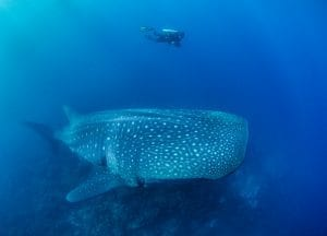Whale shark and diver, Darwin Arch, Galapagos