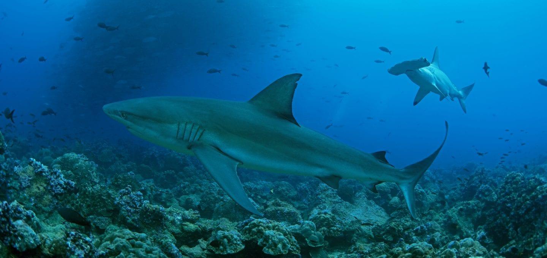 Shark, Galapagos, fish