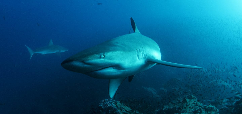 Sharks, Galapagos Islands