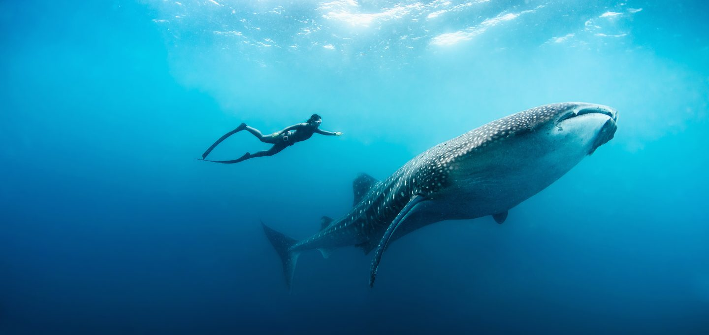 whale-shark-hanli-prinsloo-underwater-photography-south-africa-ryan-murray