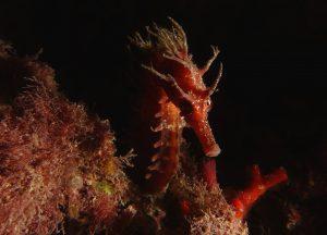 seahorse-Paul-Hewart-underwater-photography