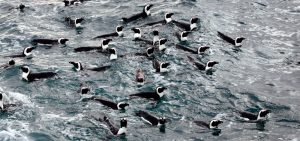 African-penguins-at-sea