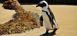 Adult-African-penguin-on-the-beach-returning-from-a-foraging-trip