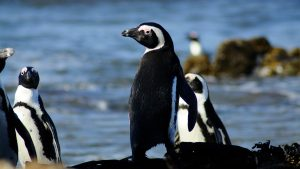 African-penguin-adult-at-the-edge-of-the-Robben-Island-colony