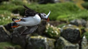 project-puffin-rspb-uk