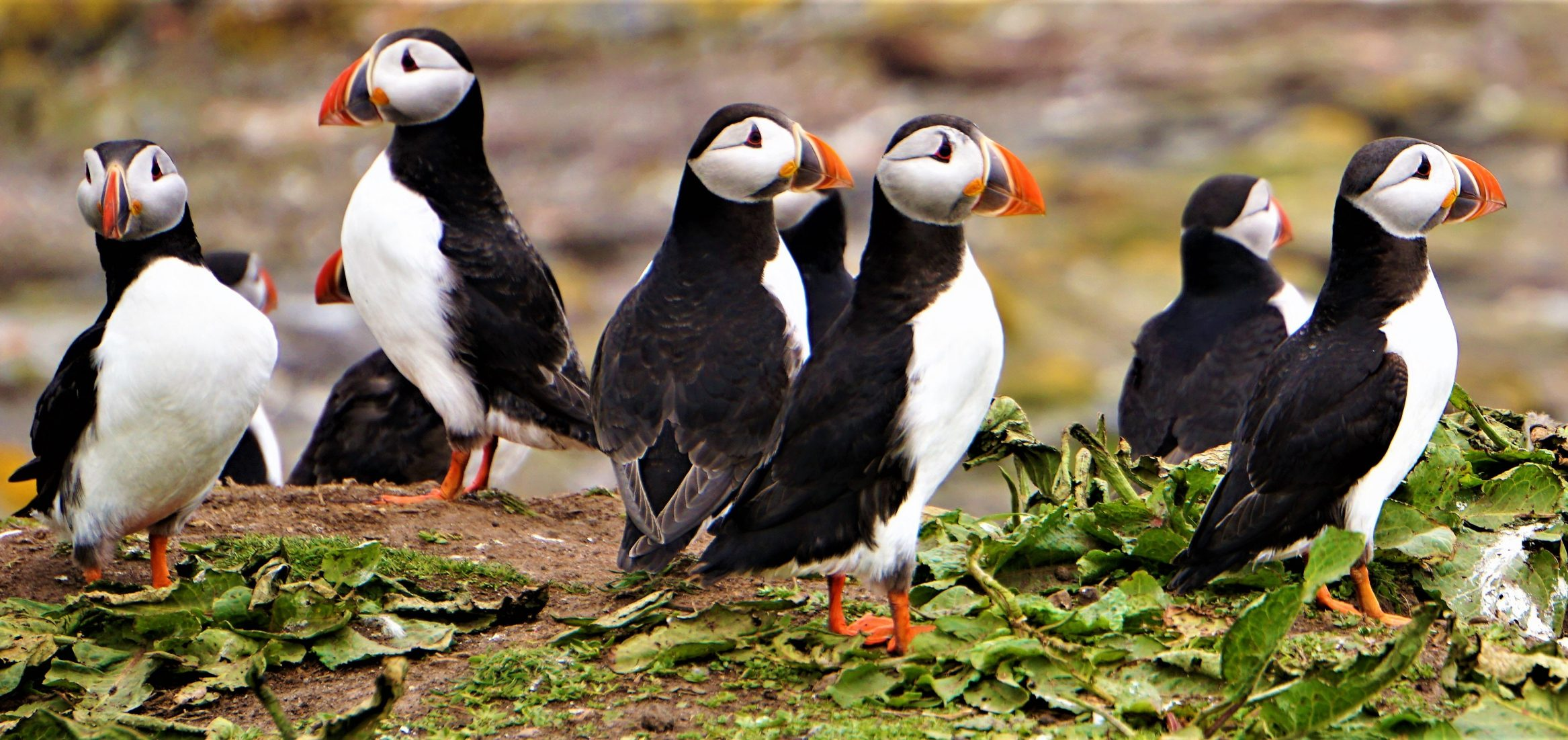 puffins-colony-rspb-wildlife-photography