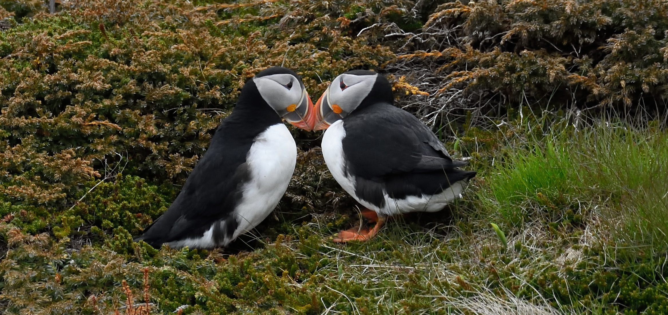 rsbp-project-puffins-photography-nature