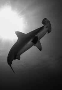 hammerhead-shark-cocos-isalnd-costa-rica-sanctuary-underwater-photography