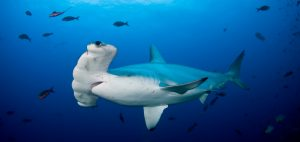hammerhead-shark-cocos-isalnd-costa-rica-sanctuary-underwater-photography