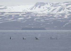 whale-watching-research-Húsavík-iceland-landscape-photography-whales