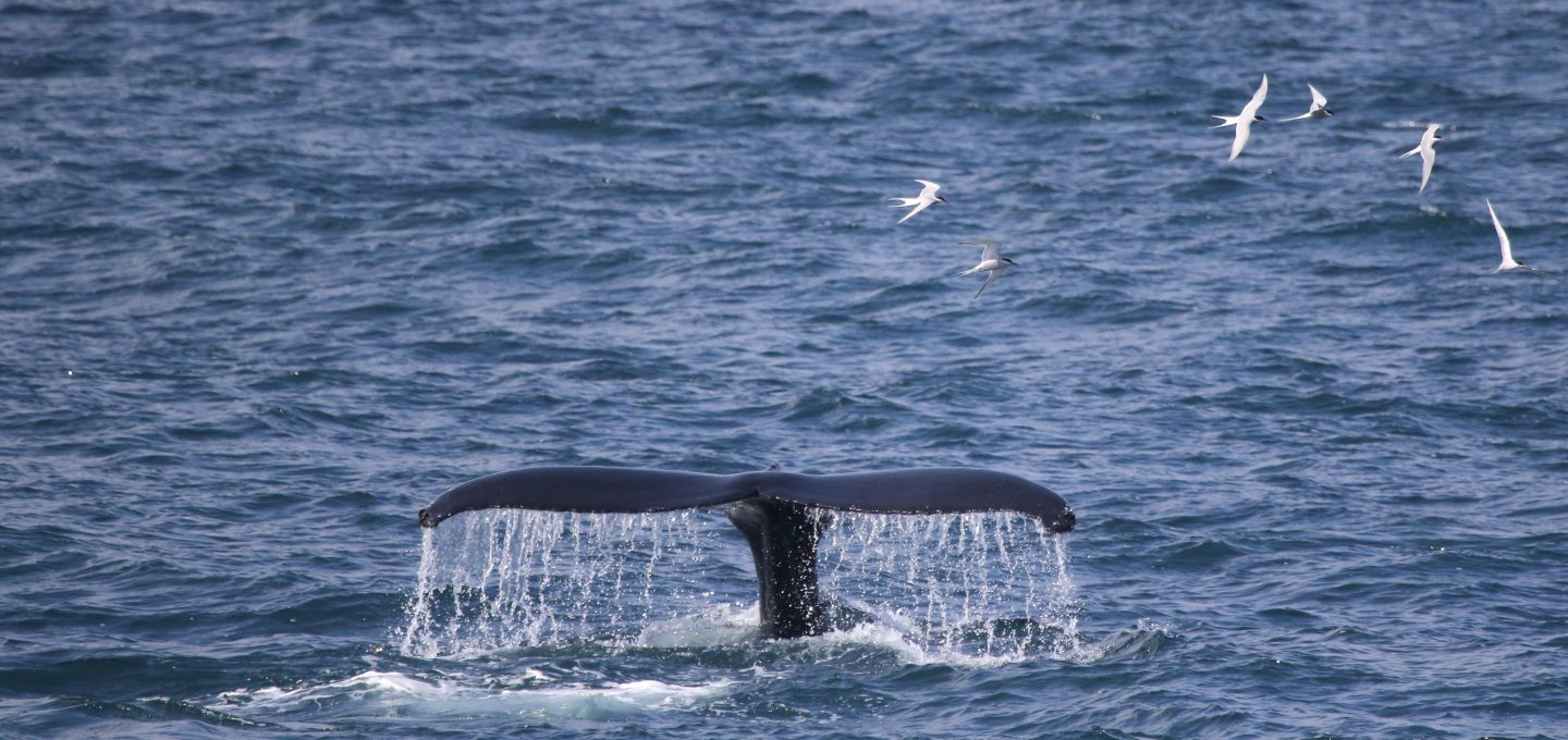 whale-watching-research-Húsavík-iceland-humpback-fluke-whales