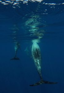 risso's-dolphins-stefano-bellomo-risso-fluke
