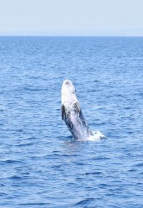 risso's-dolphins-stefano-bellomo-risso-breaching