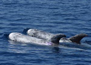 risso's-dolphins-stefano-bellomo-risso-pod