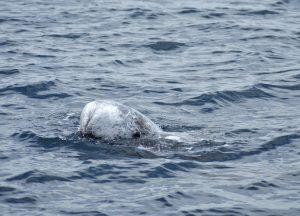 risso's-dolphins-stefano-bellomo-risso-italia