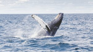 japan-commercial-whaling