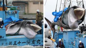 japan commercial whaling