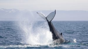 whale-watching-research-Húsavík-iceland-humpback-whales