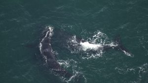 canada-protective-measures-North-Atlantic-right-whales