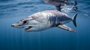 Mako sharks, New Zealand, Shawn Heinrich's