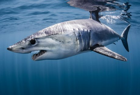 Mako sharks, New Zealand, Shawn Heinrich's