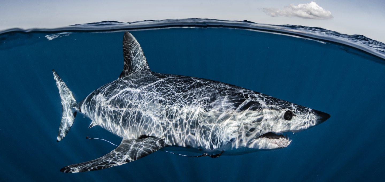 Mako shark, New Zealand, CITES, Shawn Heinrichs