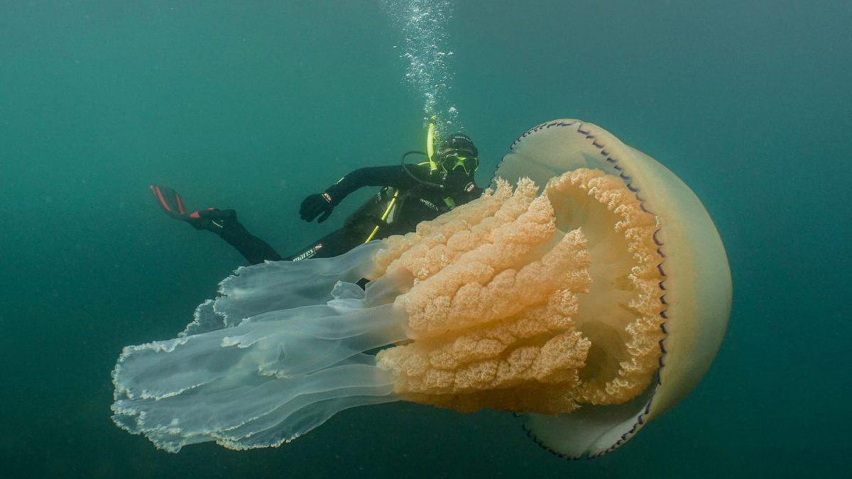 giant-barrel-jellyfish-lizzie-daily-uk