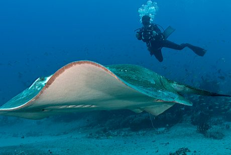 smalleye-stingray-marine-megafauna-foundation