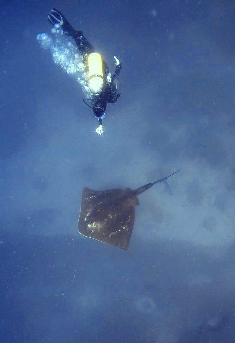 smalleye-stingray-marine-megafauna-foundation