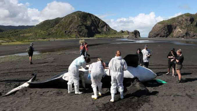 pilot-whales-beached-stranded-iceland