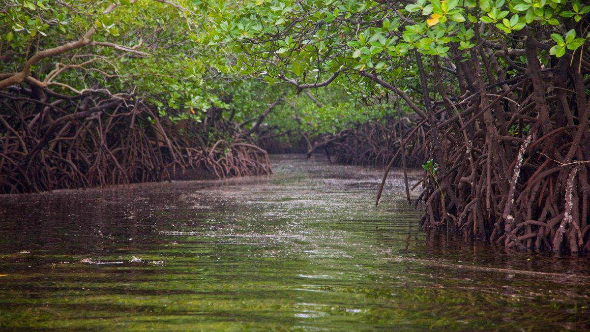 mangroves-conservation-kenya-carbon-credit-trade-UN