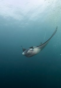 manta-ray-palau