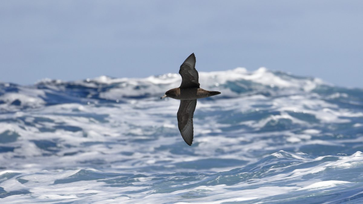 Flesh-footed-Shearwaters-Australia-Ed-Dunens-Flickr-plastic-blood-chemistry