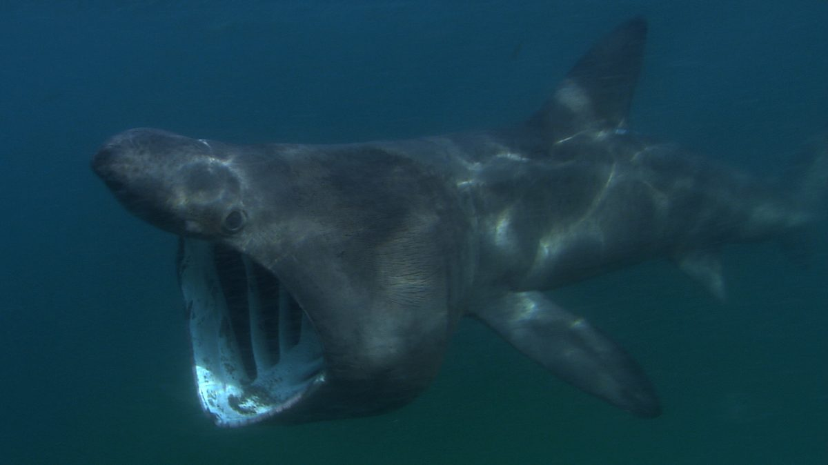 sharkcam-basking-shark