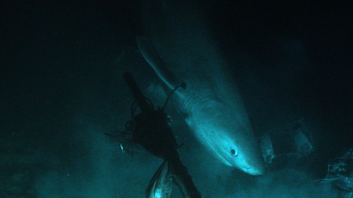 bluntnose-sixgill-shark-bahamas-tagging-ocean-x