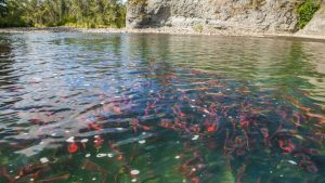 bristol-bay-pebble-mine-wild-salmon