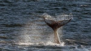 VyKing-Humpback-Whale-Fluke-Svalbard
