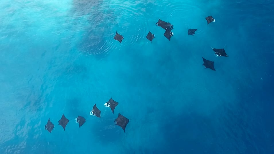 manta-rays-social-bonding-groups-indonesia-cleaning-sites-mantas-two-groups